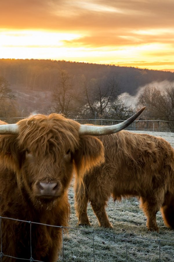 highland-cows-5778566_1920